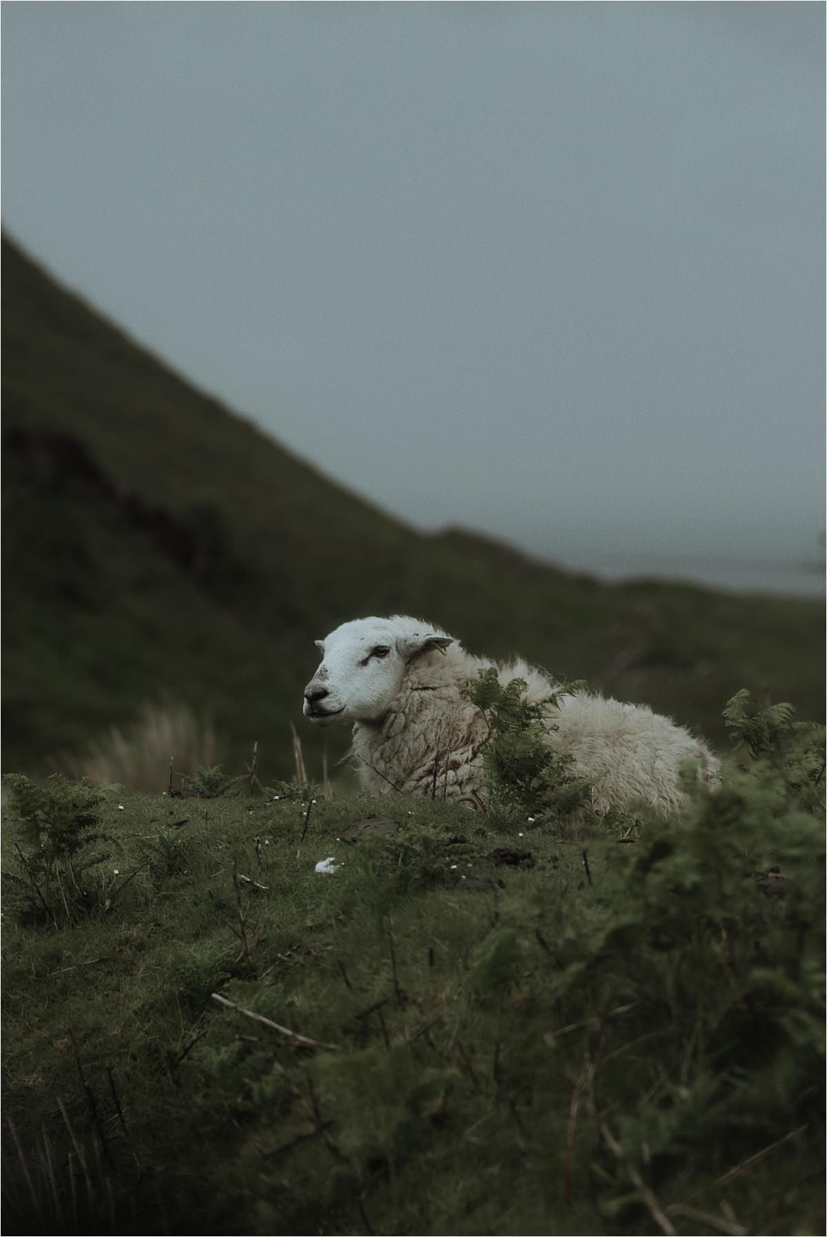 sheep on the isle of skye